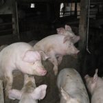 ネズミ駆除(養豚舎、岡崎市)※安城市、豊田市、刈谷市も対応します。